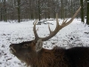 Hirsch im Oberwald