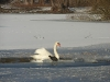 Schwan im Eis
