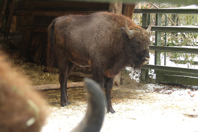 Wisent Junges