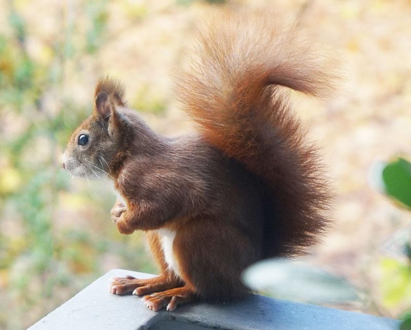 Südstadt Eichhörnchen 2015